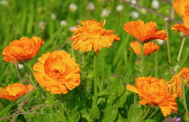 The Best Flowers To Plant for Your Climate - Marigold