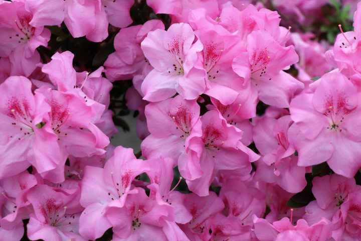 The Best Flowers To Plant for Your Climate - Sweet Azaleas